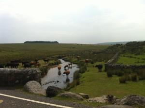 Glückliche Kühe im Dartmoor