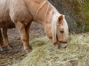 Rauhfutter ist das Wichtigste für ein Pony