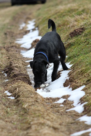 Hunde entdecken zuverlässig Corona-Viren!